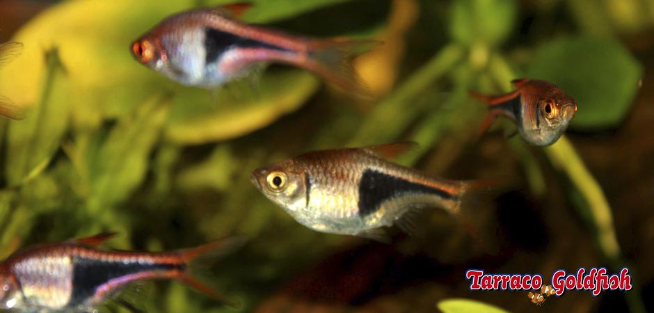 http://www.tarracogoldfish.com/wp-content/uploads/2014/02/Rasbora-heteromorpha-5-TarracoGoldfish.jpg
