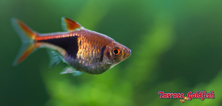 Rasbora heteromorpha TarracoGoldfish