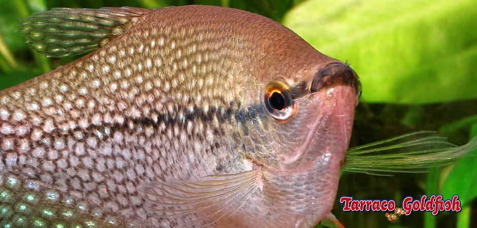 http://www.tarracogoldfish.com/wp-content/uploads/2014/02/TRICHOGASTER-LEERI-1-TarracoGoldfish.jpg