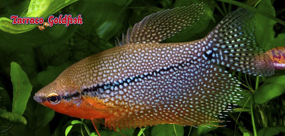 TRICHOGASTER LEERI 2 TarracoGoldfish