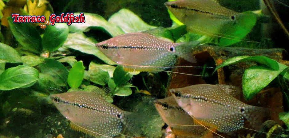 http://www.tarracogoldfish.com/wp-content/uploads/2014/02/TRICHOGASTER-LEERI-TarracoGoldfish.jpg