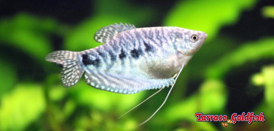 http://www.tarracogoldfish.com/wp-content/uploads/2014/02/TRICHOGASTER-TRICHOPTERUS-TarracoGoldfish-1.jpg