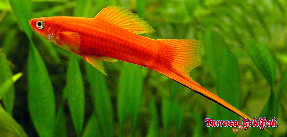http://www.tarracogoldfish.com/wp-content/uploads/2014/02/XIPHOPHORUS-HELLERI-1.png