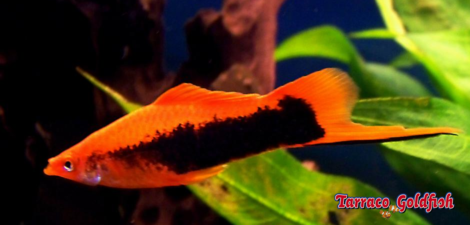 http://www.tarracogoldfish.com/wp-content/uploads/2014/02/XIPHOPHORUS-HELLERI-2.png