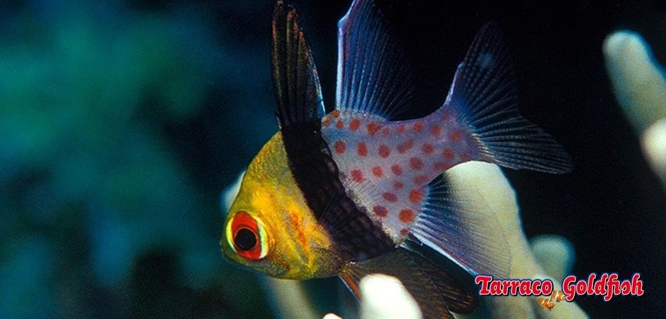 http://www.tarracogoldfish.com/wp-content/uploads/2014/03/Sphaeramia-Nematoptera-1.jpg