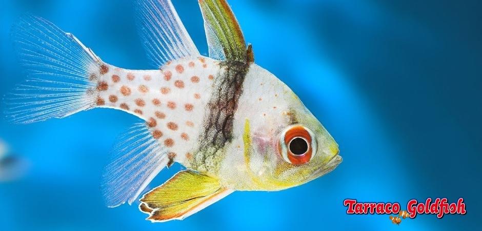 http://www.tarracogoldfish.com/wp-content/uploads/2014/03/Sphaeramia-Nematoptera-2.jpg