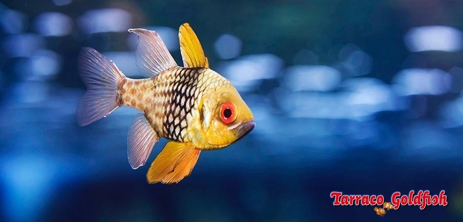 http://www.tarracogoldfish.com/wp-content/uploads/2014/03/Sphaeramia-Nematoptera-3.jpg