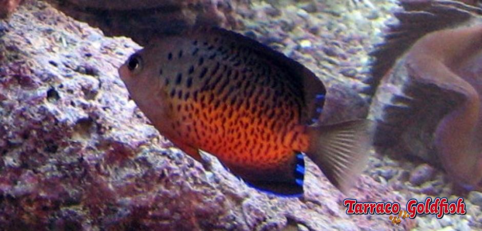 http://www.tarracogoldfish.com/wp-content/uploads/2014/04/Centropyge-Ferrugata-1-TarracoGoldfish.jpg