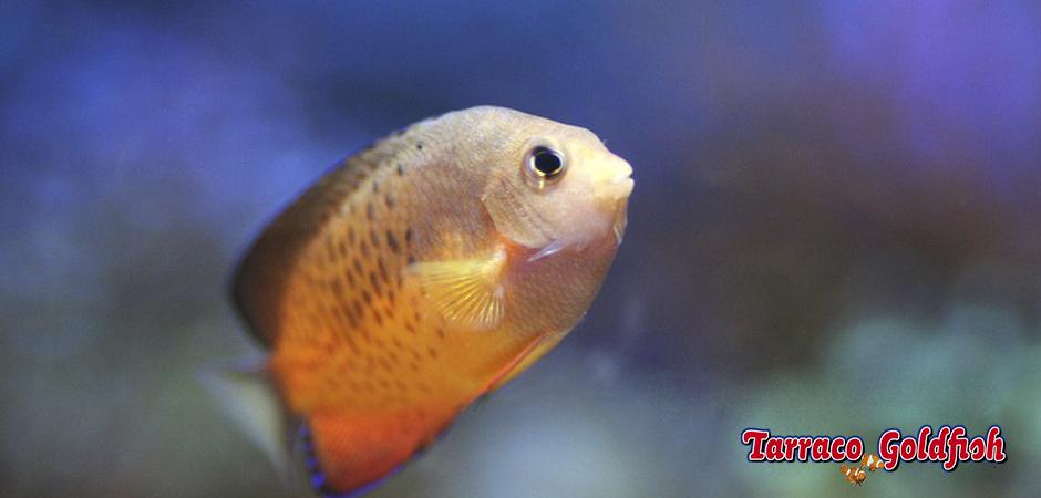 http://www.tarracogoldfish.com/wp-content/uploads/2014/04/Centropyge-Ferrugata-3-TarracoGoldfish.jpg