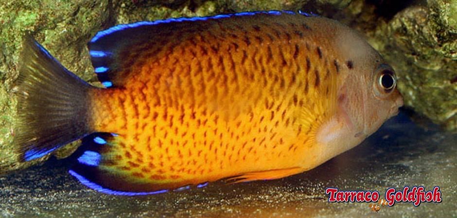 Centropyge Ferrugata TarracoGoldfish 1