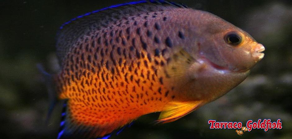 http://www.tarracogoldfish.com/wp-content/uploads/2014/04/Centropyge-Ferrugata-TarracoGoldfish.jpg