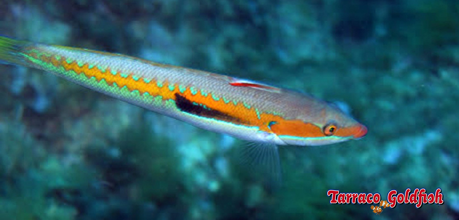 http://www.tarracogoldfish.com/wp-content/uploads/2014/04/Coris-Julis-TarracoGoldfish-0.jpg