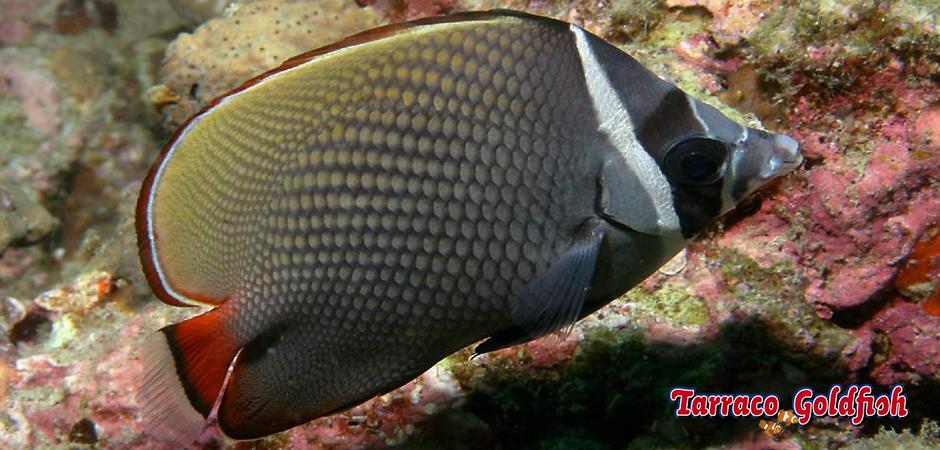 http://www.tarracogoldfish.com/wp-content/uploads/2014/05/Chaetodon-Collare-0-TarracoGoldfish.jpg