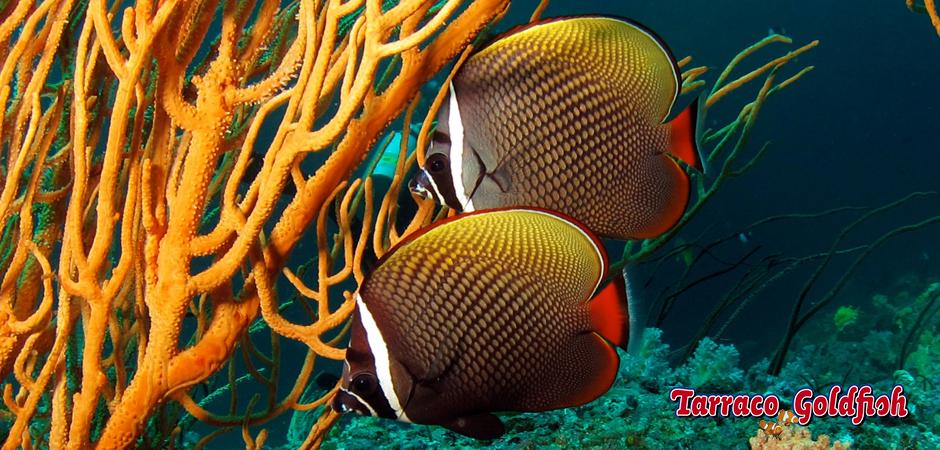 http://www.tarracogoldfish.com/wp-content/uploads/2014/05/Chaetodon-Collare-2-TarracoGoldfish.jpg