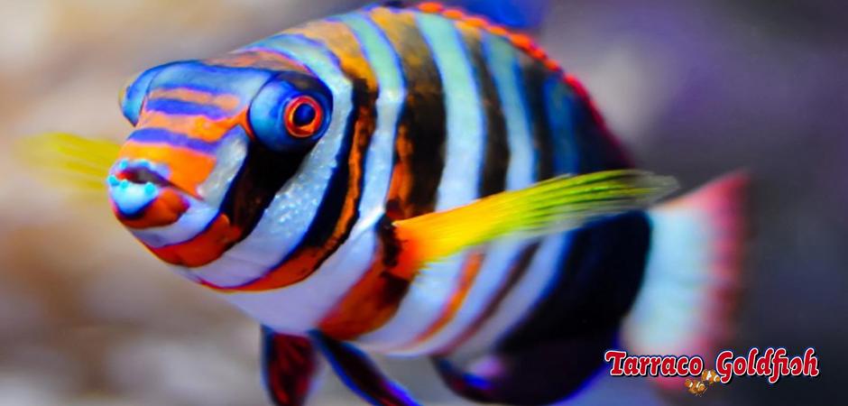 http://www.tarracogoldfish.com/wp-content/uploads/2014/05/Choerodon-Fasciatus-1-TarracoGoldfish.jpg