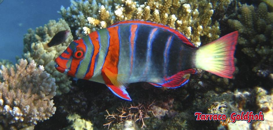 http://www.tarracogoldfish.com/wp-content/uploads/2014/05/Choerodon-Fasciatus-2-TarracoGoldfish.jpg