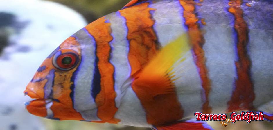 Choerodon Fasciatus 3 TarracoGoldfish