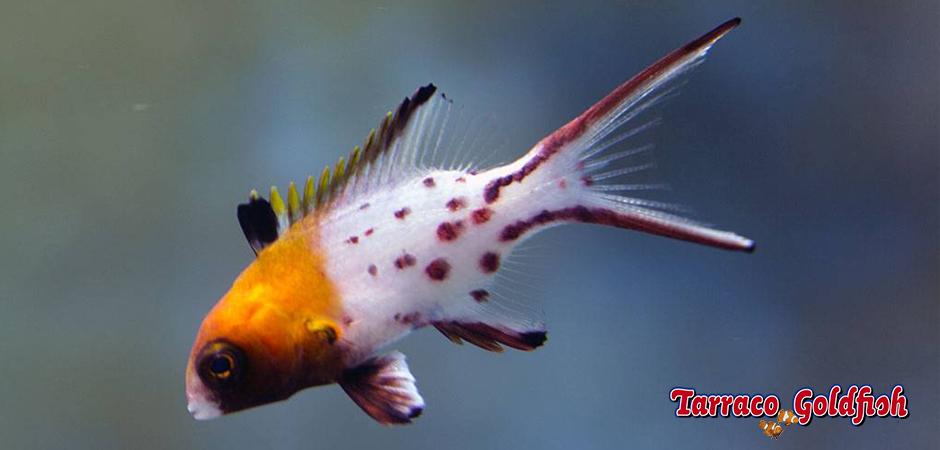 http://www.tarracogoldfish.com/wp-content/uploads/2014/11/Bodianus-Anthiides-TarracoGoldfish3.jpg