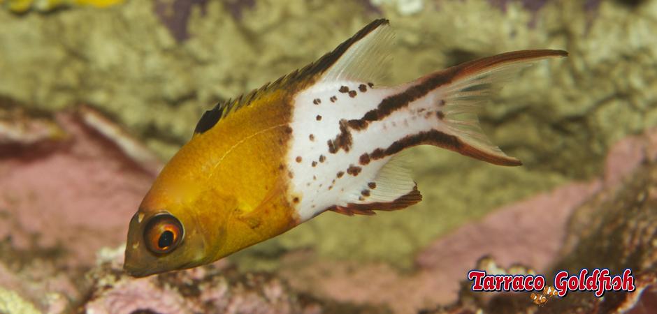 http://www.tarracogoldfish.com/wp-content/uploads/2014/11/Bodianus-Anthioides-TarracoGoldfish1.jpg
