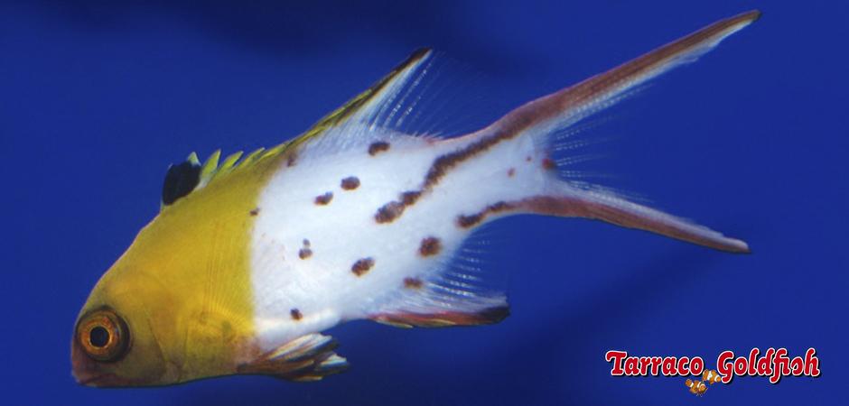 Bodianus Anthioides TarracoGoldfish2