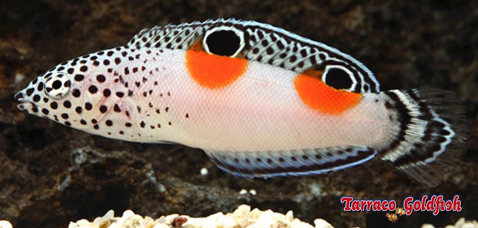 Coris Aygula TarracoGoldfish1
