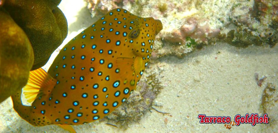http://www.tarracogoldfish.com/wp-content/uploads/2014/11/Ostracion-Cubicus-TarracoGoldfish2.jpg