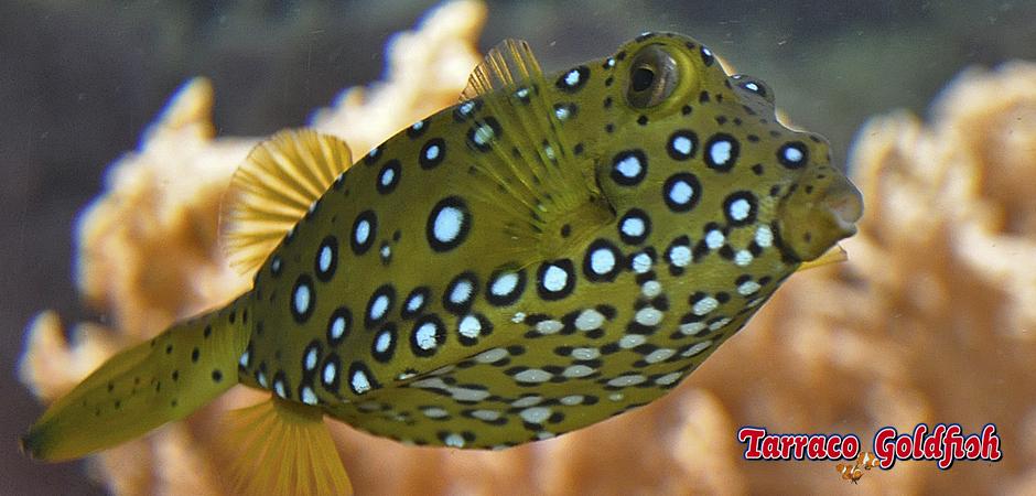 http://www.tarracogoldfish.com/wp-content/uploads/2014/11/Ostration-Cubicus-TarracoGoldfish4.jpg