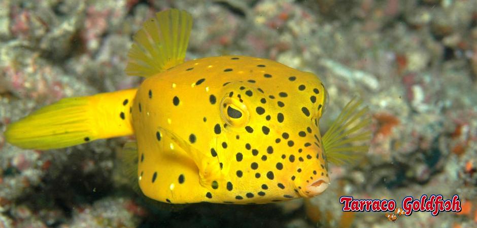 Ostration cubicus TarracoGoldfish3