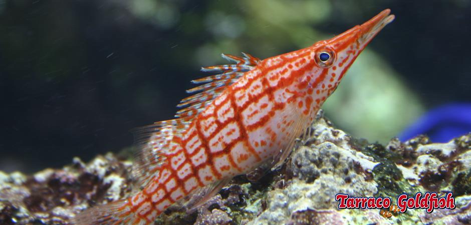http://www.tarracogoldfish.com/wp-content/uploads/2014/11/Oxycirrhites-tipus-TarracoGoldfish4.jpg