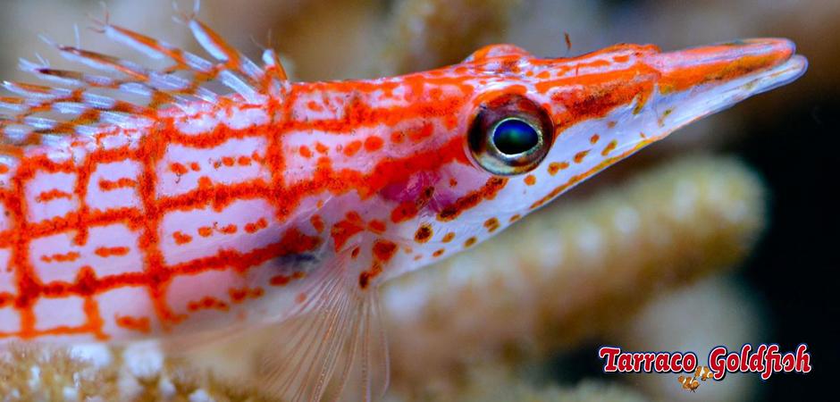 http://www.tarracogoldfish.com/wp-content/uploads/2014/11/Oxycirrhites-typus-TarracoGoldfish.jpg