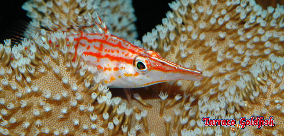 Oxycirrhites typus tarraco goldfish for Comida viva para peces