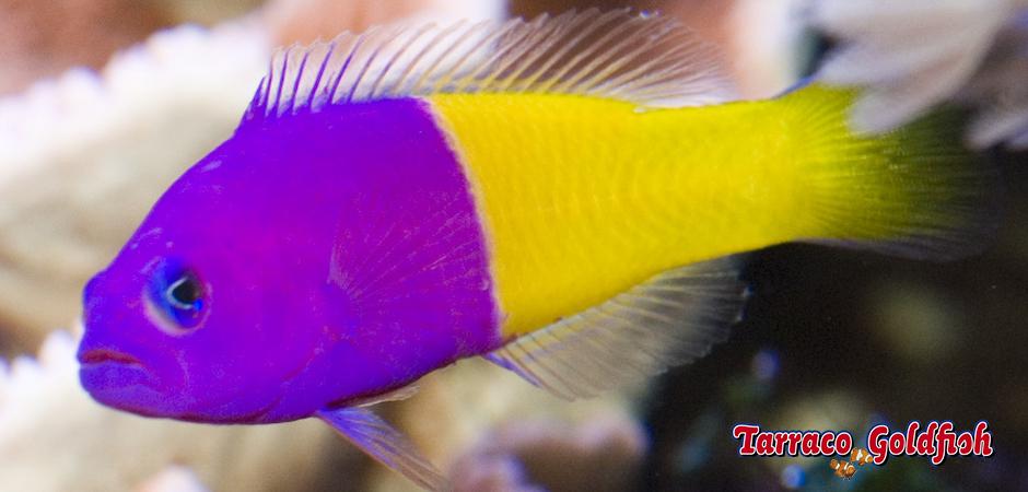 http://www.tarracogoldfish.com/wp-content/uploads/2015/01/Pseudocromis-pacagnellae-TarracoGoldfish-1.jpg