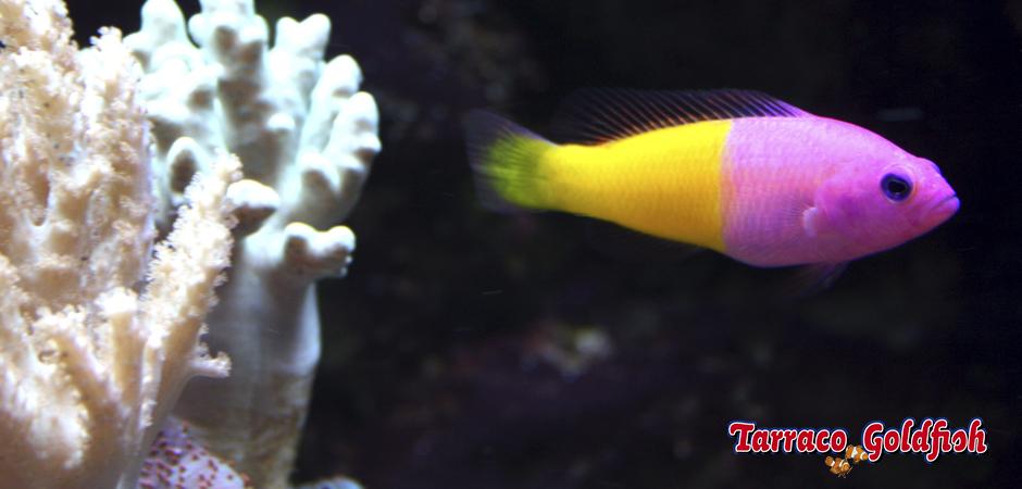 Pseudocromis pacagnellae TarracoGoldfish 2