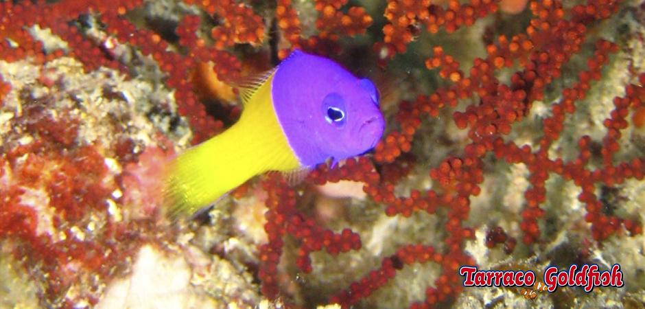 http://www.tarracogoldfish.com/wp-content/uploads/2015/01/Pseudocromis-pacagnellae-TarracoGoldfish-4.jpg