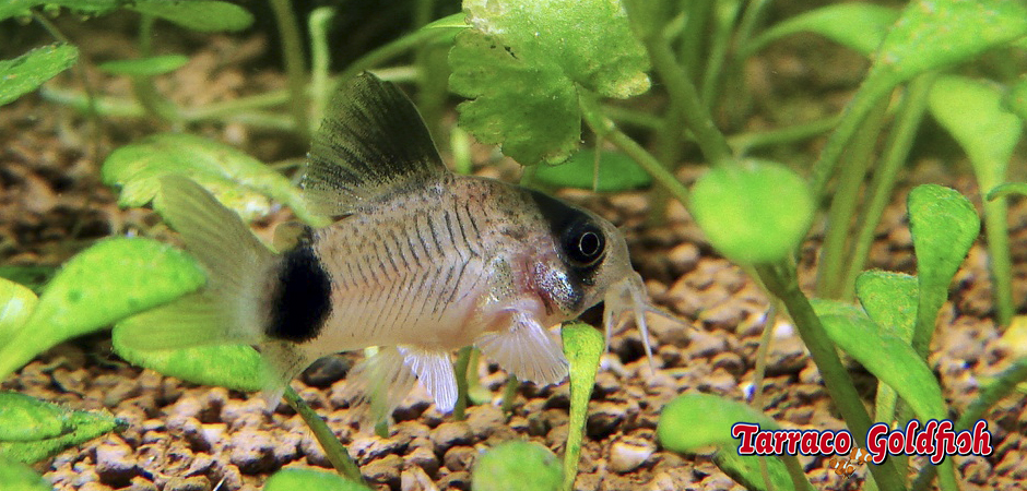 http://www.tarracogoldfish.com/wp-content/uploads/2015/02/Corydora-Panda-TarracoGoldfish-1.jpg