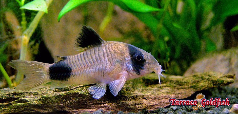 http://www.tarracogoldfish.com/wp-content/uploads/2015/02/Corydora-Panda-TarracoGoldfish3.jpg
