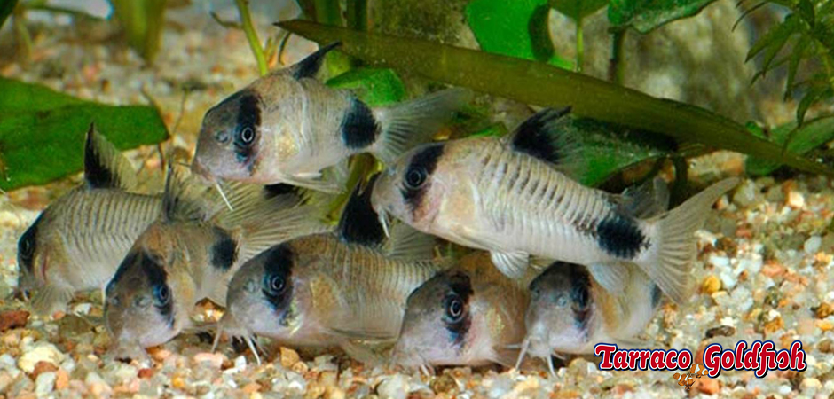 http://www.tarracogoldfish.com/wp-content/uploads/2015/02/Corydora-Panda-TarracoGoldfish4.jpg