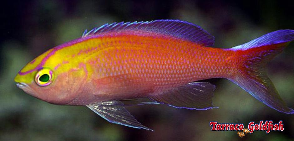 http://www.tarracogoldfish.com/wp-content/uploads/2015/02/Pseudanthias-parvirostris-Tarraco-Goldfish2.jpg