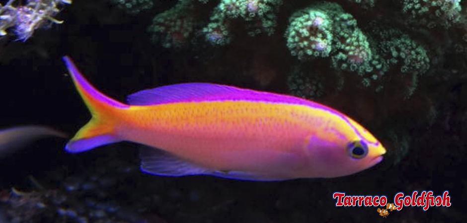 Pseudanthias parvirostris TarracoGoldfish3