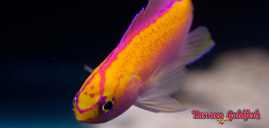http://www.tarracogoldfish.com/wp-content/uploads/2015/02/Pseudanthias-parvirostris-TarracoGoldfish4.jpg