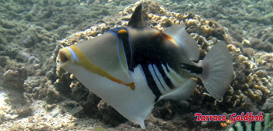 http://www.tarracogoldfish.com/wp-content/uploads/2015/02/Rhinecanthus-aculeatus-TarracoGoldfish1.jpg