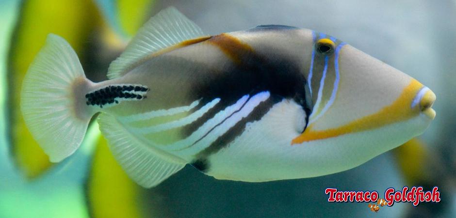http://www.tarracogoldfish.com/wp-content/uploads/2015/02/Rhinecanthus-aculeatus-TarracoGoldfish3.jpg