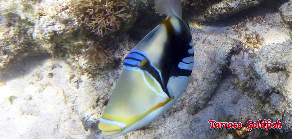 http://www.tarracogoldfish.com/wp-content/uploads/2015/02/Rhinecanthus-aculeatus-TarracoGoldfish5.jpg