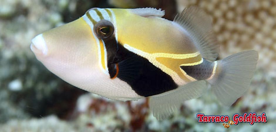 http://www.tarracogoldfish.com/wp-content/uploads/2015/02/Rhinecanthus-rectangulus-TarracoGoldfish1.jpg