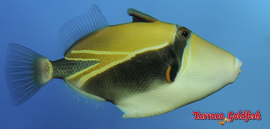 http://www.tarracogoldfish.com/wp-content/uploads/2015/02/Rhinecanthus-rectangulus-TarracoGoldfish2.jpg