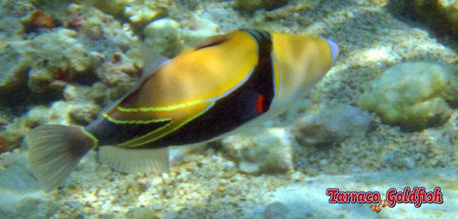 Rhinecanthus rectangulus TarracoGoldfish3
