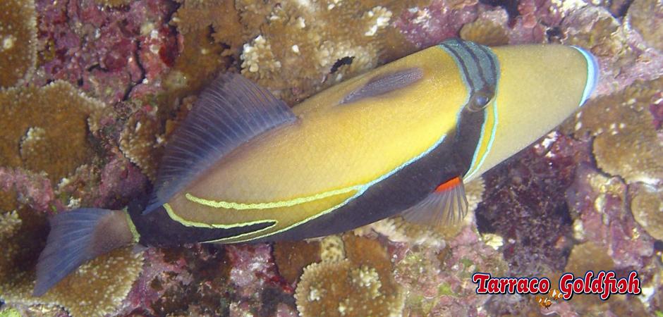 http://www.tarracogoldfish.com/wp-content/uploads/2015/02/Rhinecanthus-rectangulus-TarracoGoldfish4.jpg