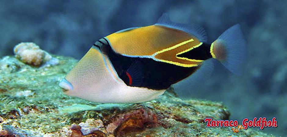 http://www.tarracogoldfish.com/wp-content/uploads/2015/02/Rhinecanthus-rectangulus-TarracoGoldfish5.jpg
