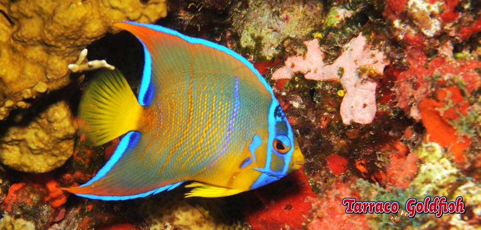 http://www.tarracogoldfish.com/wp-content/uploads/2015/03/Ciliaris-1-TarracoGoldfish.jpg