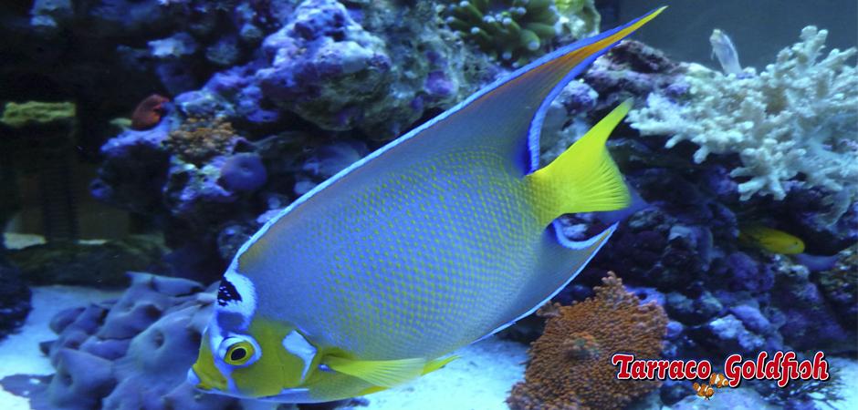 http://www.tarracogoldfish.com/wp-content/uploads/2015/03/Ciliaris-3-TarracoGoldfish.jpg